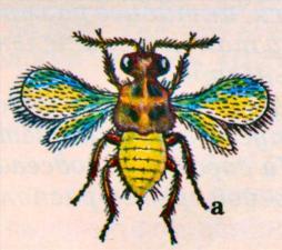 Энкарзия: а - взрослое насекомое размером до 0,6 мм;