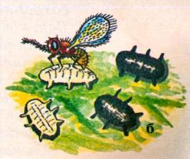 Энкарзия: б - хищник на ивой личинке белокрылки, погибшие личинки - черные