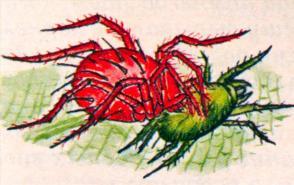 Фитосейулюс напал на паутинного клеща (самка 0,37 мм, самец - чуть меньше)