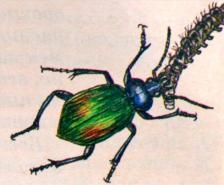 Жужелица - сине-зеленый переливающийся жук размером 0,5 - 3 см