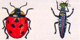 Божья (тлевая) коровка, размером 0,5 - 0,8 см, и ее личинка, пожирающая тлю