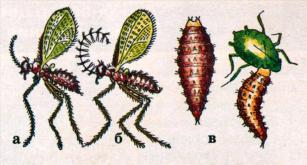Галлица афидимиза, размером 1,8 - 2,2 мм; а - самка; б - самец; в - личинка