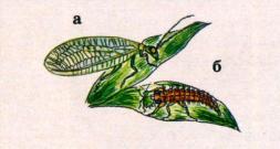 Златоглазка, длина туловища: 8 - 10 мм, размах крыльев: 23 - 30 мм; а - взрослое насекомое, б - личинка