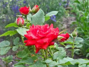 У полиантовой розы цветки распускаются постоянно