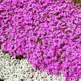 Variegated_part4_Phlox_EmeraldPink_Main_021