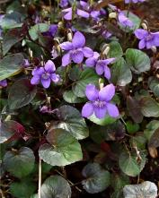 Фиалка (виола) лабрадорская Пурпуреа