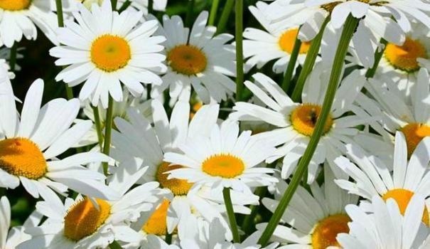 Ромашка садовая многолетняя - посадка и уход, размножение 13