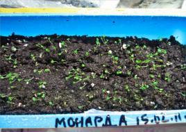 Монарда взошла очень быстро: посевы монарды на четвертый день