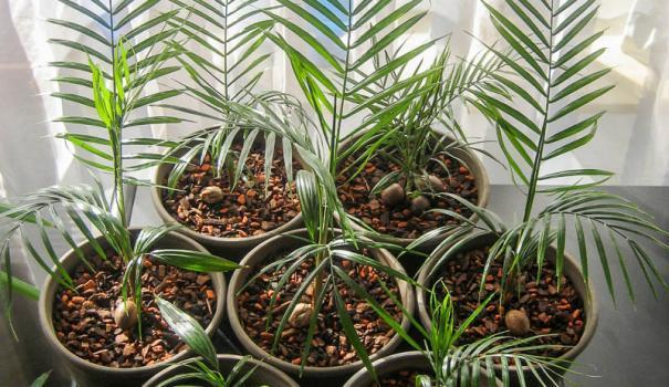 Пальмы выращивание из семян 48
