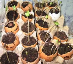 Замоченные семена посадила в скорлупу