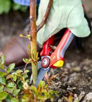 Весной делают санитарную обрезку роз, обрезают все почерневшие побеги до живой почки, а также формируют растущие кусты роз