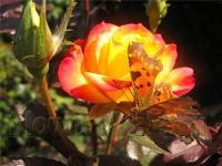 Бабочки не обходят вниманием цветущие розы