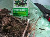 Разверните целофан, корни обрежьте до нужной длины, срезы обработайте толченым активированным углем или корневином