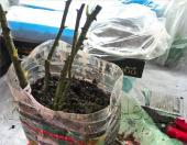 Аккуратно расправьте корни роз и засыпьте их вместе с корневой шейкой влажными опилками, смешанными с торфом, или просто влажным торфом