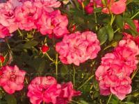 """Роза флорибунда """"Дойче Велле"""" - как зацвела в середине июня, так и продолжала цвести сквозь до заморозков. Пришлось в конце октября обрезать ветки вместе с бутонами"""