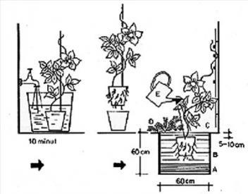Посадка клематиса в картинках: горшок с клематисом поместить в воду на 10 минут, чтобы не повредить корни при вынимании растения из горшка, осторожно достать клематис из горшочка, поместить в заранее подготовленную яму рядом с опорой, после посадки полить
