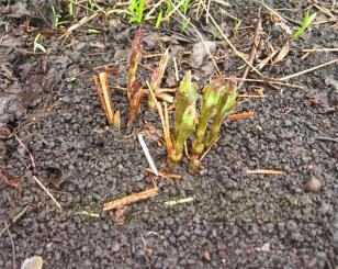 А вот травянистый клематис, стебли которого нужно обрезать на зиму, совершенно беспроблемный. Главное - отток воды от корней. Я пересадила его осенью на другое место, уже всходит.