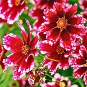 Кореопсис (Coreopsis cranberry ice)