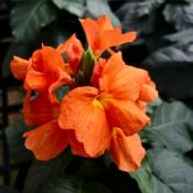 Crossandra Old orange (Кроссандра Олд оранж)