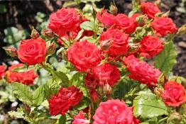 Полиантовая роза, июль 2010 год