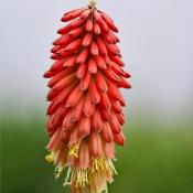 Книфофия Нэнсис Рэд (Kniphofia Nancy's Red)