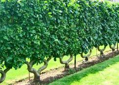 Живая изгородь из яблонь