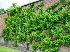 Вдоль стены можно вырастить самый настоящий фруктовый сад