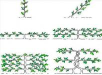 Основные типы формирования кроны дерева при выращивании на шпалере