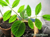 Некоторые растения сажать лучше сразу в отдельных стаканчиках или торфяных таблетках