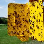 Клеевые ловушки, развешенные на деревьях, помогут в борьбе с вишневой мухой
