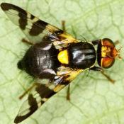 Вишневая муха (Rhagoletis cerasi)