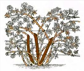 Рис. 3 Обрезка плетистых роз первой группы