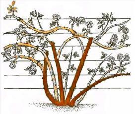 Рис. 9 Обрезка плетистых роз второй группы