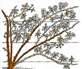 Рис. 14 Обрезка плетистых роз третьей группы