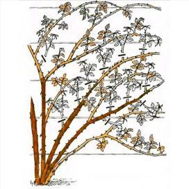 Рис. 15 Обрезка плетистых роз третьей группы