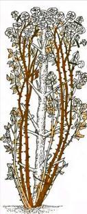 Рис. 19 Обрезка плетистых роз четвертой группы