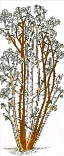 Рис. 20 Обрезка плетистых роз четвертой группы