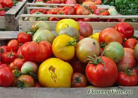 На переработку томатов тоже хватает!