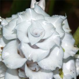 "Калатея Бурле Маркса ""Голубой лед"" (Calathea burle-marxii 'Blue Ice')"