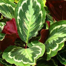 Калатея Вейча или Вича (Calathea veitchiana)