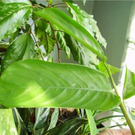 Калатея Любберса (Calathea Lubbersii)