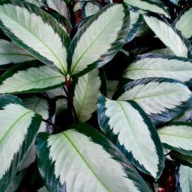 Калатея раскрашенная 'Argentea' (Calathea Picturata 'Argentea')