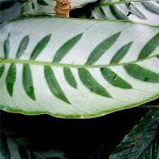 Калатея Бахема (Calathea bachemiana)