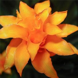 Калатея шафранная (Calathea crocata)