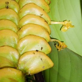 Калатея кроталифера (Calathea crotalifera)