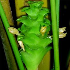 Калатея цилиндрика (Calathea cylindrica)