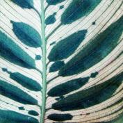 Калатея Макоя (Calathea makoyana)