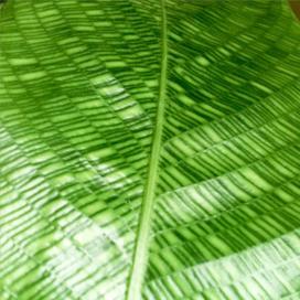 Калатея мозаичная Нетворк (Calathea musaica Network)