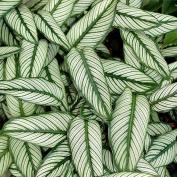 Калатея украшенная (Calathea Ornata)