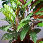 Калатея руфибарба (Calathea rufibarba)
